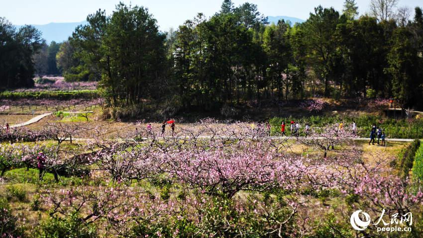 黟县五里观桃花。五里村因距离黟县县城五公里而得名。