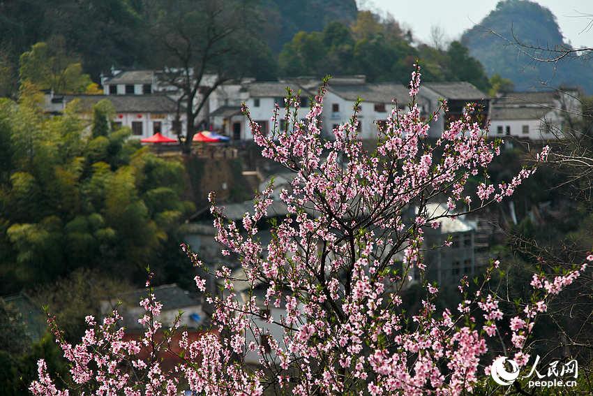 齐云山月华街附近,桃花盛开。
