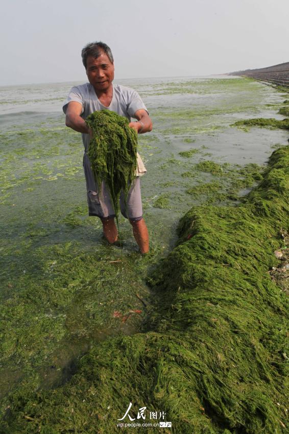 6月12日,在江苏省连云港市赣榆县海州湾旅游度假区,一名渔民在清理