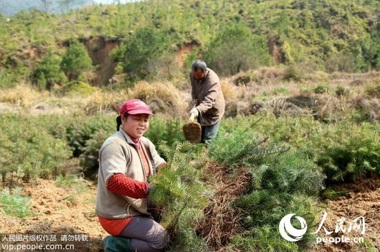 江西乐安:造林热带动苗木产业发展(2015.3.18)9版