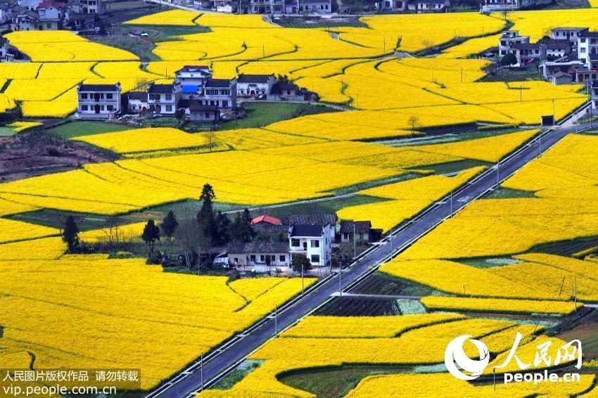 安徽黟县拍摄的油菜花。大色块的简单构图与建筑遥相呼应,给人对美好的无限遐想。置身花海,扑面而来的花香让人心旷神怡。(周冰/人民图片)详细
