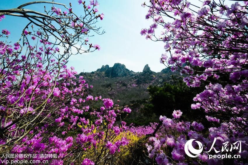 青岛大珠山山会_青岛大珠山映山红盛放 游客置身花的海洋【2】--图说中国--人民网