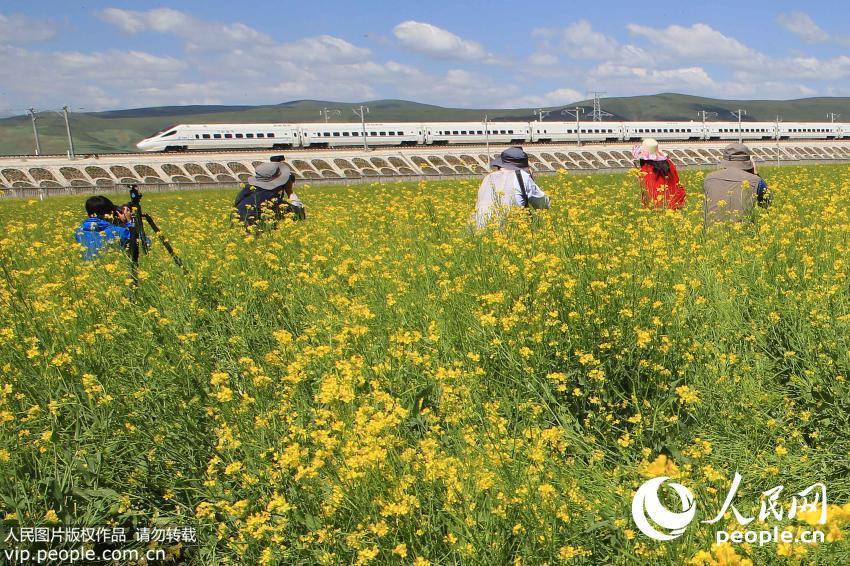 游客在兰新高铁青海门源油菜花海拍摄飞驰的动车.
