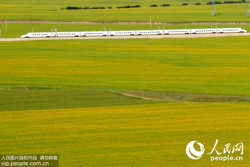 一列动车在兰新高铁青海门源油菜花海里飞驰而过.