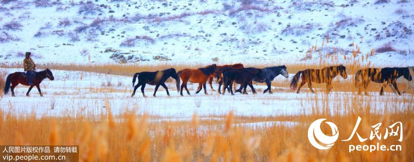 2015年11月25日,一位牧人赶着骏马行进在新疆哈巴河县一处芦苇里,在微风中拽动芦苇与奔驰的各色骏马构成了一幅幅美丽的画卷。(刘是何/人民图片)