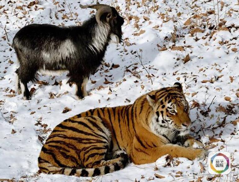 有专家认为,在动物园内老虎很容易获得食物