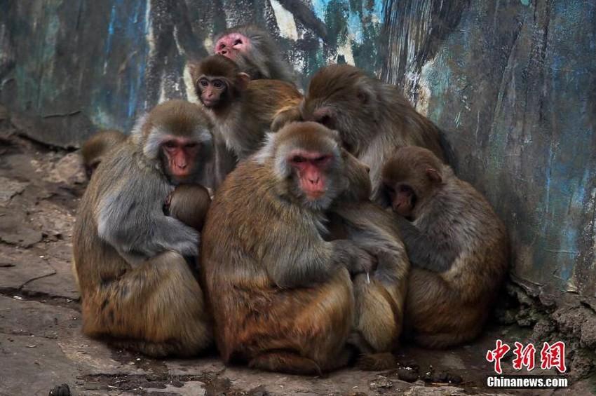 """南京动物园猴子抵御寒潮""""抱团取暖"""""""