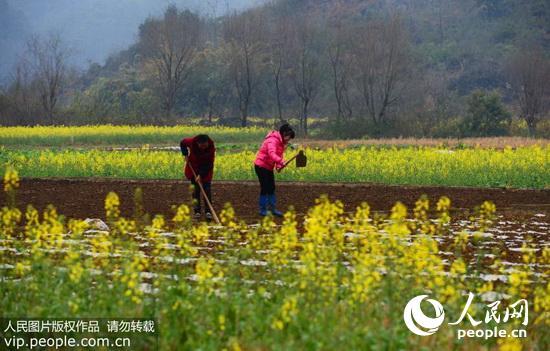 2月19日,云南省罗平县长底乡发达村的农民在田地里忙碌.