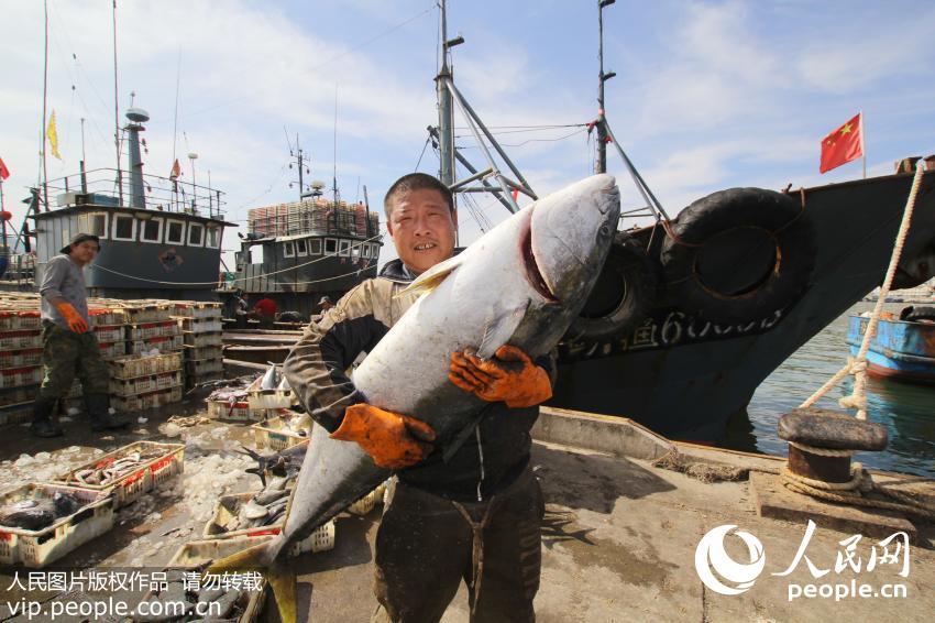 青岛渔民捕获巨型黄金鲅鱼重达60斤