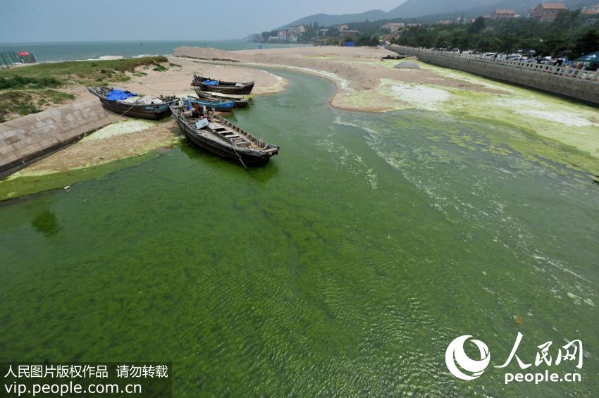 青岛:浒苔随浪来袭 游客绿潮中嬉戏