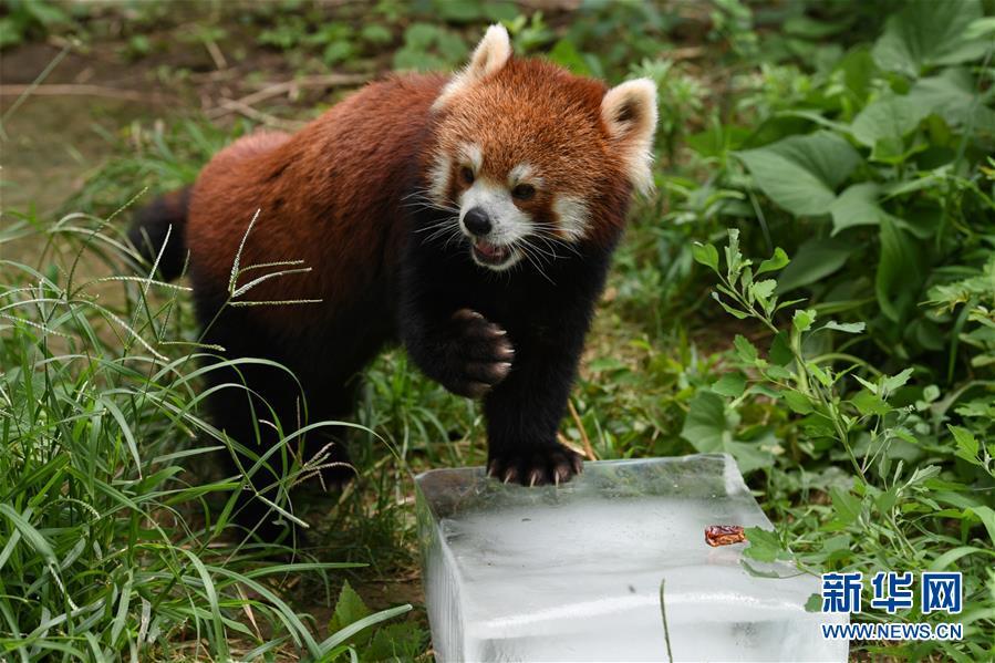 北京动物园的一只小熊猫趴在工作人员送来的冰块上