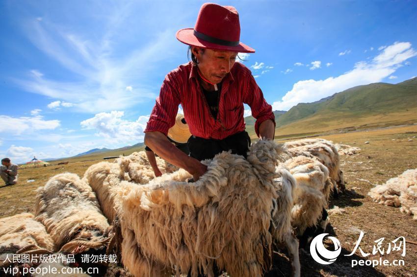 青海藏族牧民迎来剪羊毛季节