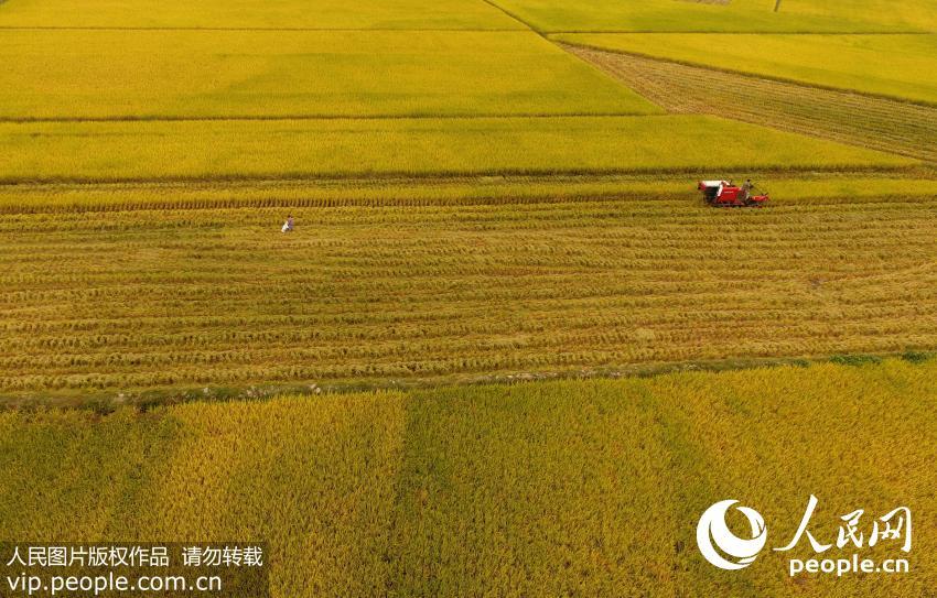 十月,全国各地农民趁着秋高气爽好天气,在流金溢彩的田野里奔