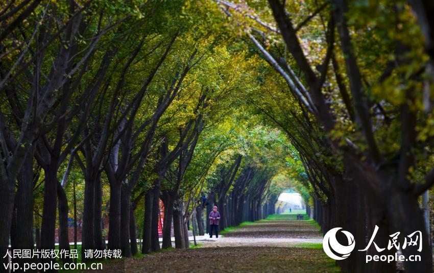 """10月30日,素有""""时光隧道""""美誉的铁富镇姚庄村最美乡村路迎来最佳观赏"""