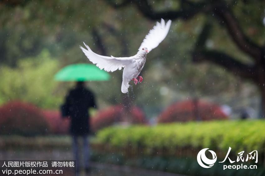 """白干净的鸽子们被雨淋成了""""落汤鸽"""",狼狈不堪.(许康平/人民图"""