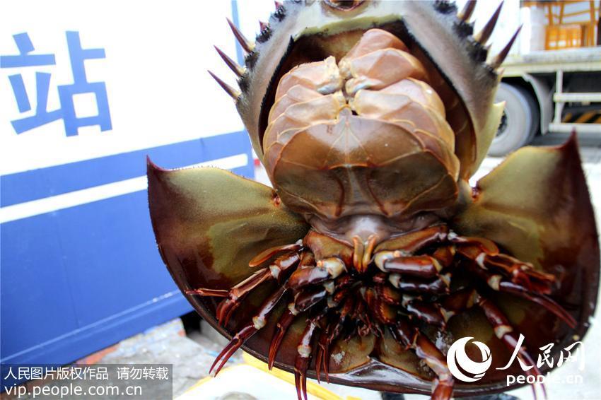 广西边防武警查获保护动物东方鲎65只