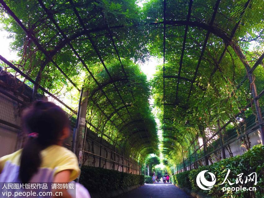 杭州/杭州一老小区现200米长凌霄花隧道