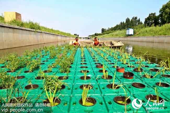 """山东东营:""""生态浮岛""""让河道清粼粼绿盈盈(2017.8.5)10"""