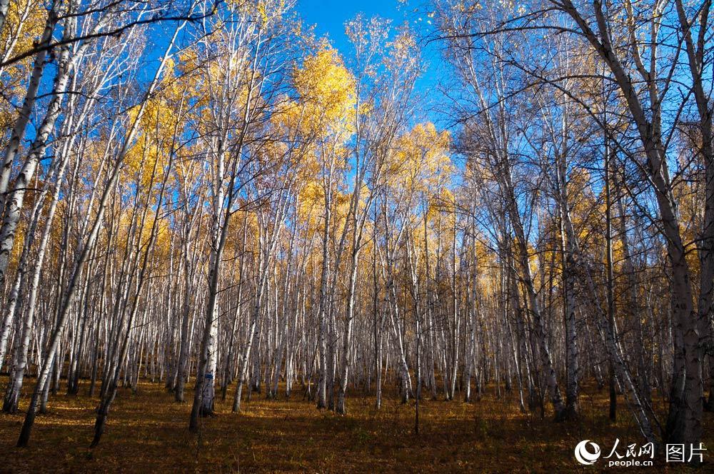 额尔古纳市白桦林距离市区40公里,是一片自然成长的次生白桦林带。