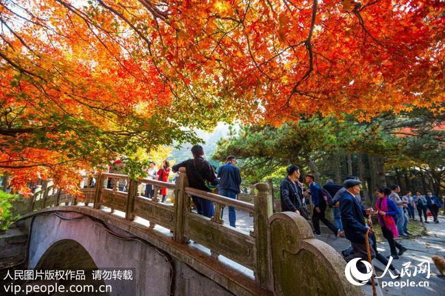 点击下载此图片   金秋时节,江西庐山风景区枫叶逐渐变红,漫山遍野色