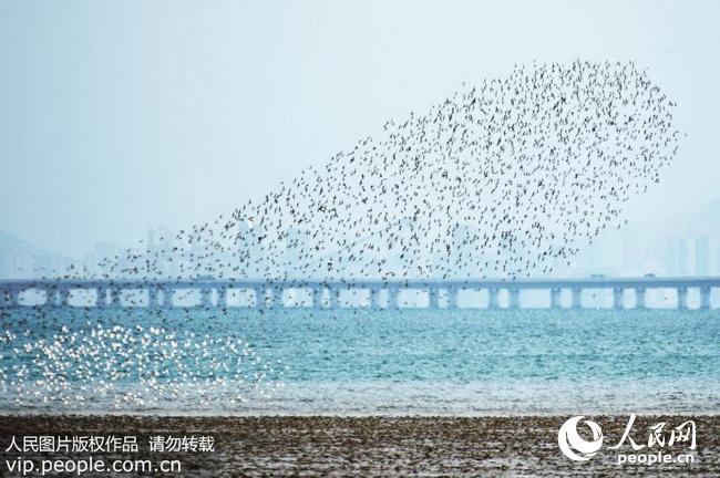 青岛环湾湿地候鸟回迁场面浩荡(2017.12.5)海外版11版