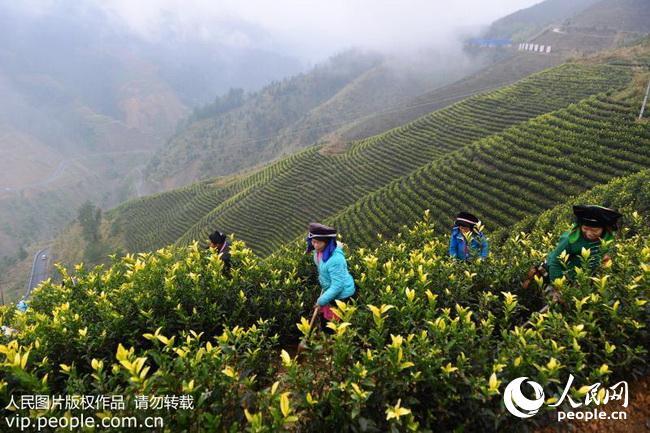 2018年1月20日,贵州省黔东南苗族侗族自治州丹寨县排调镇的茶场里一片繁忙。茶农们忙着为茶叶松土、除草、修枝,为今年春茶管理提前做准备。 近年来,黔东南苗族侗族自治州丹寨县大力发展高山生态茶叶种植,据当地农业部门统计数据显示,目前丹寨县茶场面积达11.3万亩,茶叶种植拓宽了当地农民增收渠道。(杨文斌/人民图片) (声明:凡带有人民图片字样图片,系版权图片,受法律保护,使用(含转载)需付费,欢迎致电购买:010-65368384或021-63519288。)