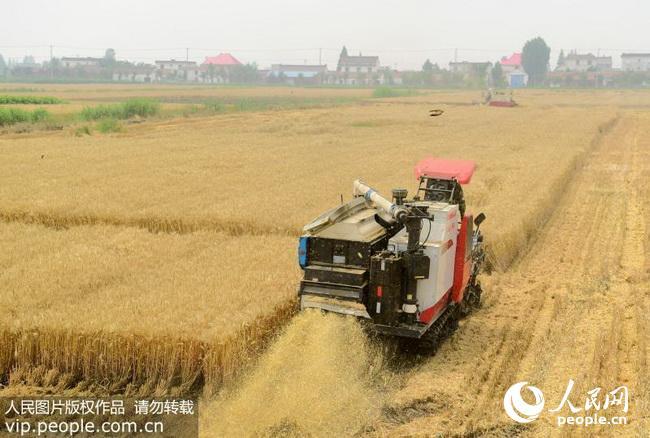 江苏海安:50多万亩小麦开镰机收(2018.6.6)海外版2版